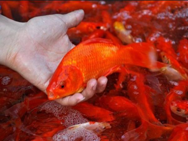 Mơ thấy bắt cá điềm gì?