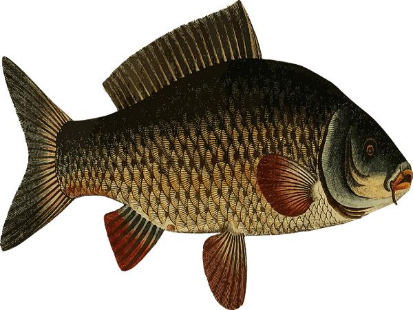 Mơ thấy cá chép điềm gì?
