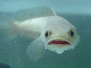 Mơ thấy cá lóc là điềm báo dữ hay lành – Đánh con số nào?