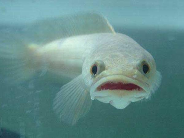 Mơ thấy cá lóc là điềm báo dữ hay lành - Đánh con số nào?
