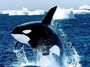 Mơ thấy cá voi là điềm báo gì, đánh con số nào?