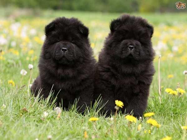 mơ thấy chó đen