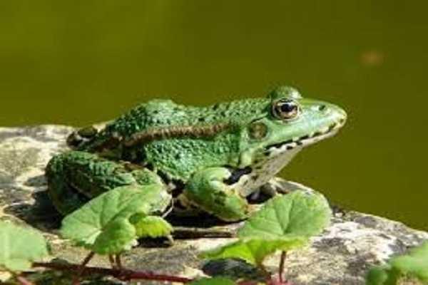Mơ thấy ếch là điềm báo gì?