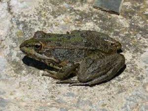 Mơ thấy ếch là điềm báo gì, đánh lô đề con nào?