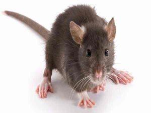 Mơ thấy chuột có phải điềm xấu, đánh con gì chắc ăn nhất?